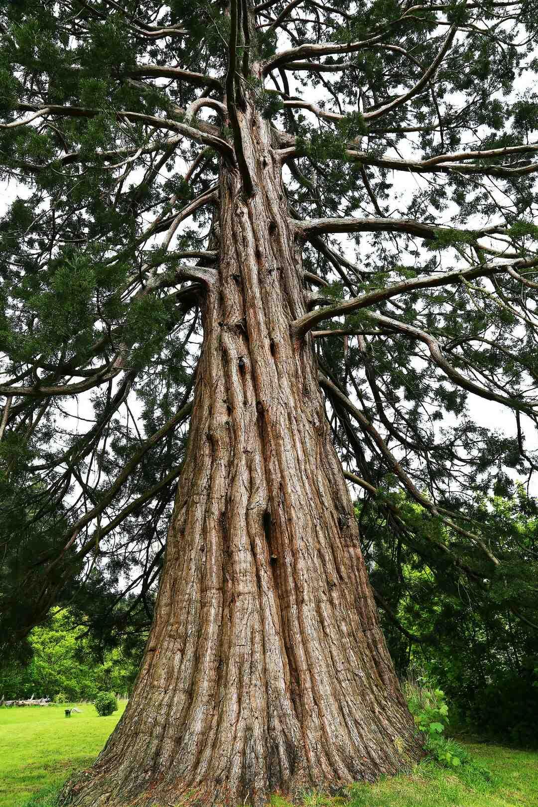 Comment élargir le tronc ?